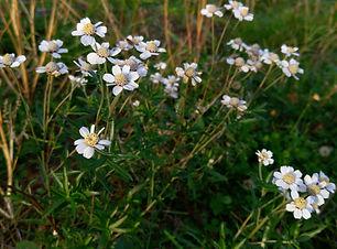 Sneezewort (Achillea ptarmica) (4).jpg