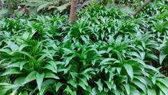 Ramsons (Allium ursinum) (6).jpg