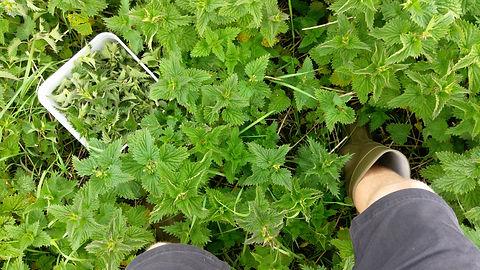 Stinging Nettles (Urtica dioica) (5).jpg