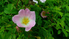 Dog Rose (Rosa canina).jpg