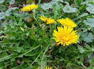 Dandelion (Taraxacum officinale) (2).jpg
