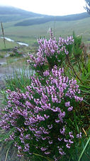 Heather (Calluna vulgaris).jpg