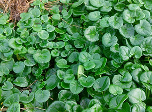 Scurvy Grass (Cochlearia sp).jpg