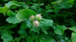 Hazel (Corylus avellana) (3).jpg