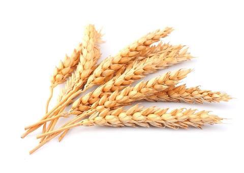 wheat_bcba2a09-841a-4466-97fc-3deb01dcf7