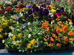 Violas and Pansies