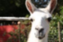 llama-at-the-petting.jpg