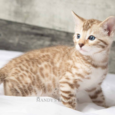 snow-bengal-kittens-for-sale-mandys-beng