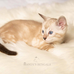 snow-bengal-kittens-for-sale-mandys-bengals