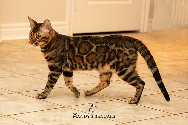 brown bengal cat  malcolm of mandys bengals