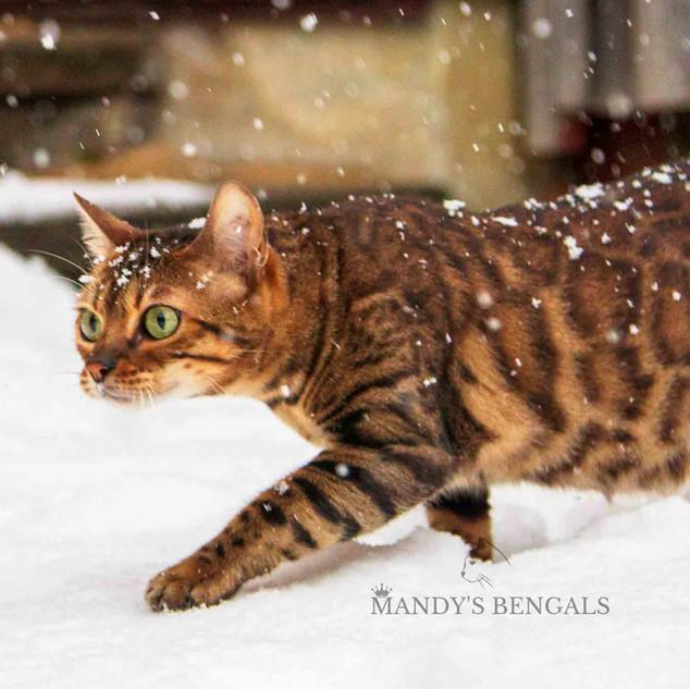 Snow_Bengal_Photoshoot_MandysBengals-24.