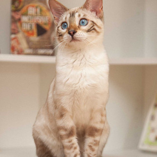 seal lynx point spotted bengal cat female mandys bengals toronto ontario bengal breeder