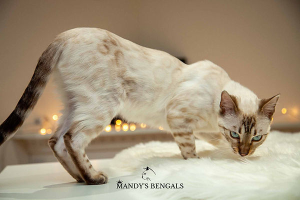 sephora of mandys bengals seal lynx point bengal female blue eyes