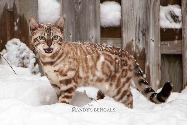Snow_Bengal_Photoshoot_MandysBengals-09.