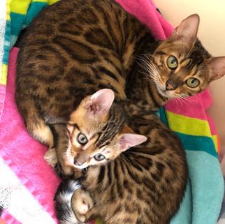 bengal  cat queen with her baby