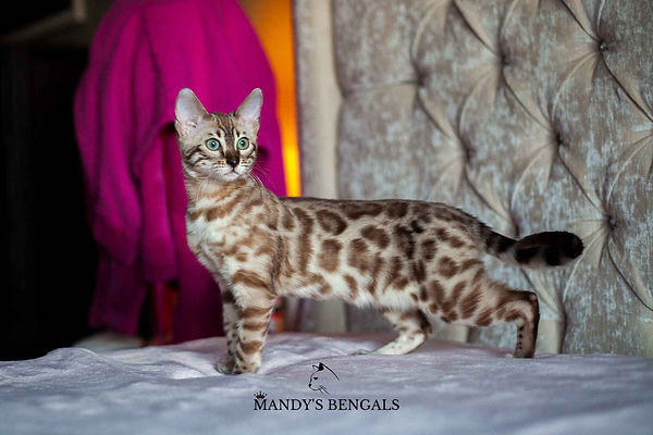 Dhalia of Mandys Bengals Snow Bengal Cattery Ontario seal mink double charcoal snow bengal