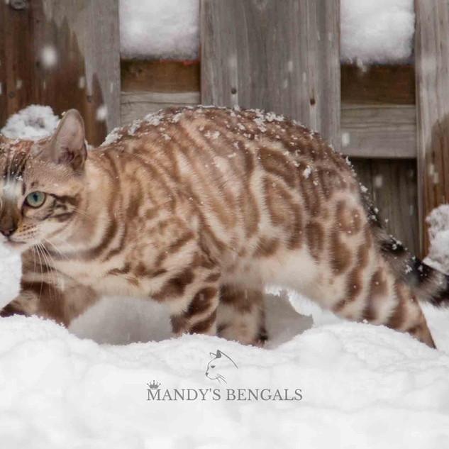 Snow_Bengal_Photoshoot_MandysBengals-08.
