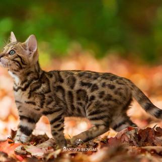 Zara_July28spotted brown bengal cat Xena mandys bengals toronto ontario bengal breeder