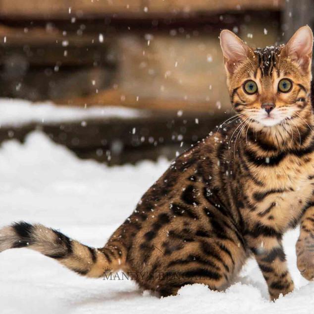 Snow_Bengal_Photoshoot_MandysBengals-06.