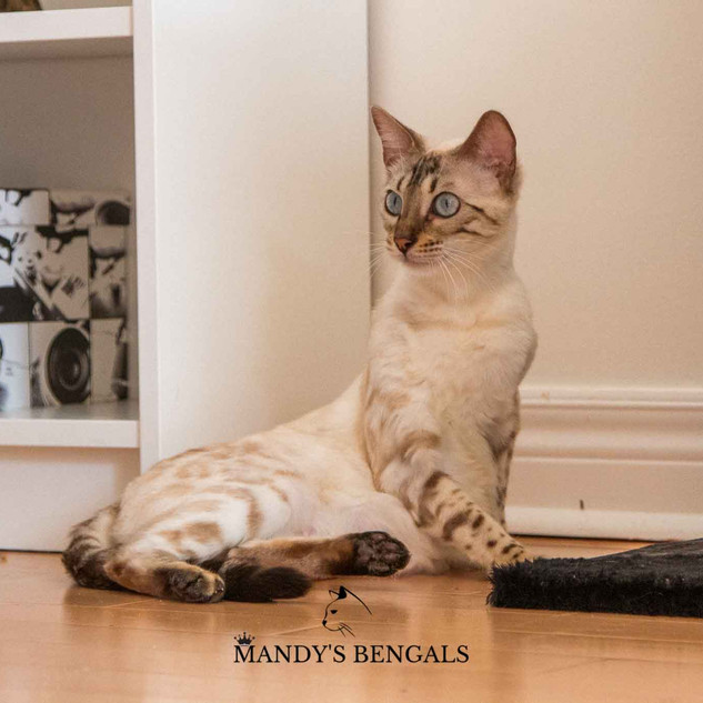 Sephora of Mandys Bengals