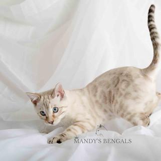 spotted-seal-lynx-snow-bengal-cat-mandys-bengals-toronto-ontario-bengal-breeder