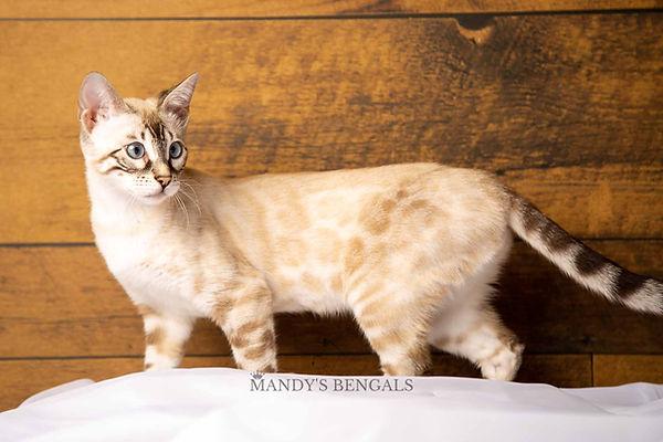 snow-bengal-cat-mandys-bengals-breeder-07.jpg