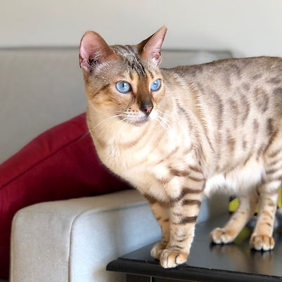 lotus of mandys bengals seal lynx point bengal carries for dilute