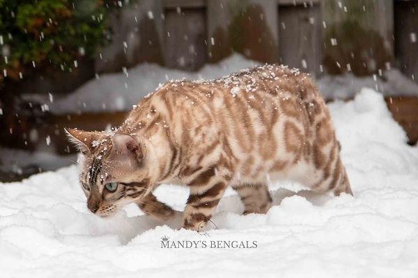 Snow_Bengal_Photoshoot_MandysBengals-07.