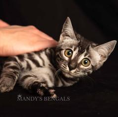 silver-charocoal-bengal-cat-mandys-bengals