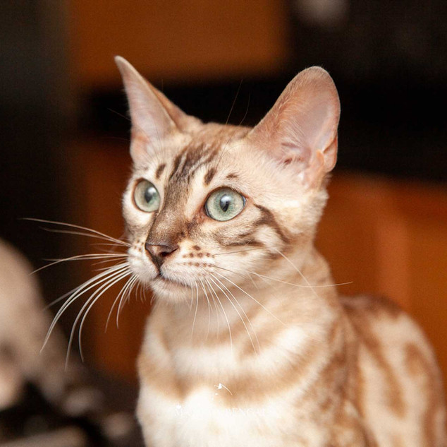 Dhalia of Mandys Bengals Snow Bengal Cattery Ontario