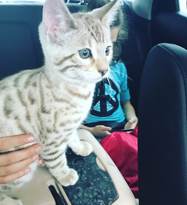 snow mink bengal kitten in car mandys bengals