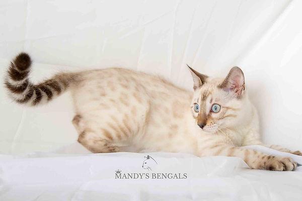 seal lynx point snow bengal Saffron of Mandys Bengals toronto ontario