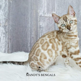 snow bengal mink spotted rosetted queen of mandys bengals toronto ontario bengal breeder