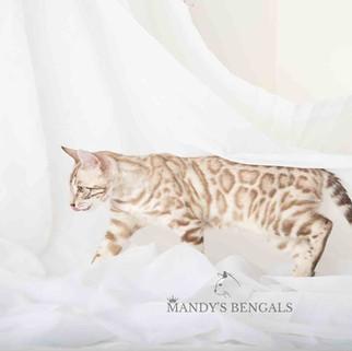 Silver-snow-mink-bengal-cat-mandys-bengals-toronto-ontario-bengal-breeder
