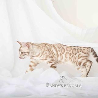 silver snow seal mink bengal cat toronto ontario mandys bengal bengal breeder