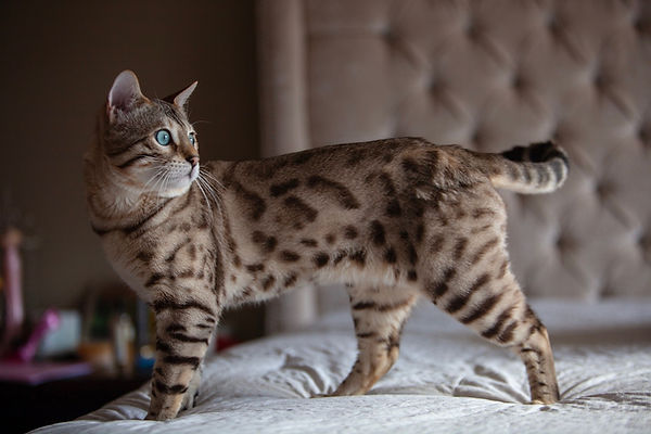 seal mink snow bengal in bedroom on bed mandys bengals