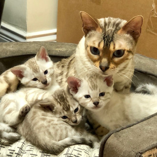 seal lynx point snow bengal cat with kittens mandys bengals
