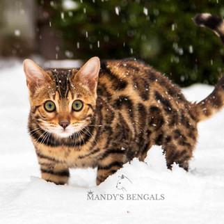 spotted brown bengal cat Xena mandys bengals toronto ontario bengal breeder