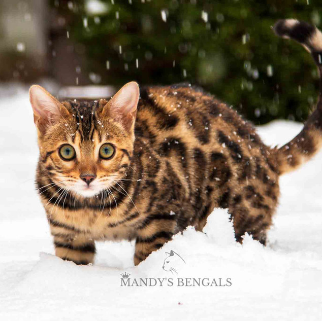 Snow_Bengal_Photoshoot_MandysBengals-05.