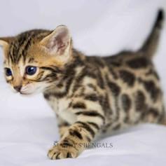 brown bengal kitten for sale mandys bnegals