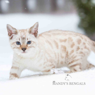 Spotted-seal-mink-snow-bengal--cat-mandys-bengals-toronto-ontario-bengal-breeder