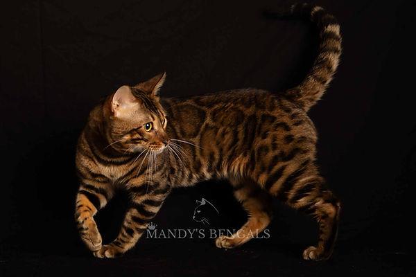 Brown Bengal Cat male Malcom of Mandys Bengals