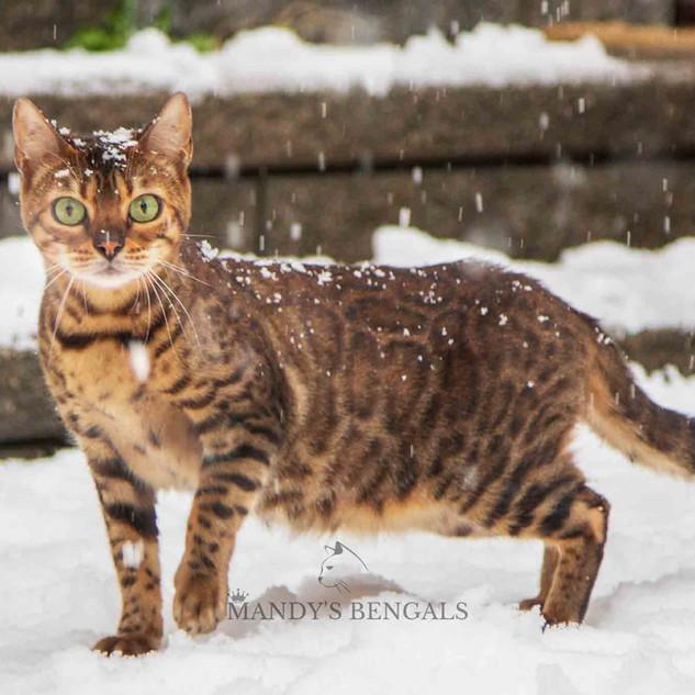 Snow_Bengal_Photoshoot_MandysBengals-02.