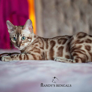 Spotted-seal-mink-double-charcoal-bengal-cat-mandys-bengals-toronto-ontario-bengal-breeder