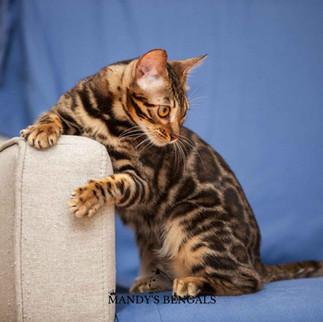 bengal cat brown spotted mandys bengal bengal breeder toronto ontario