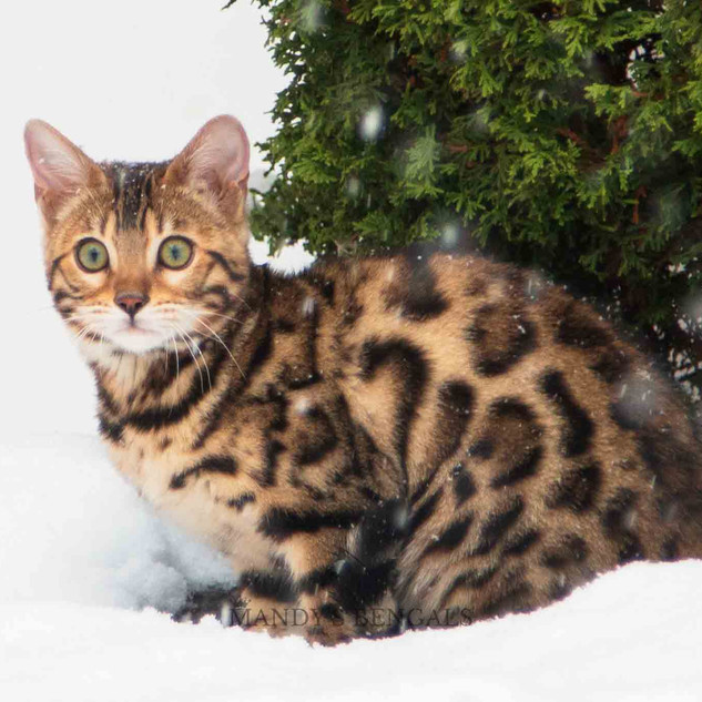 Snow_Bengal_Photoshoot_MandysBengals-04.
