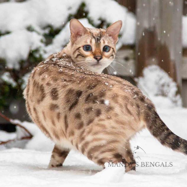 Snow_Bengal_Photoshoot_MandysBengals-15.