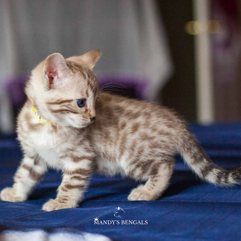 seal mink snow bengal kitten