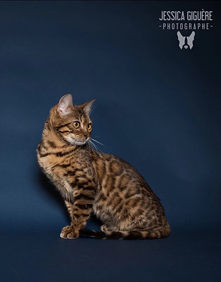 brown bengal cat carries qintar of mandys bengals