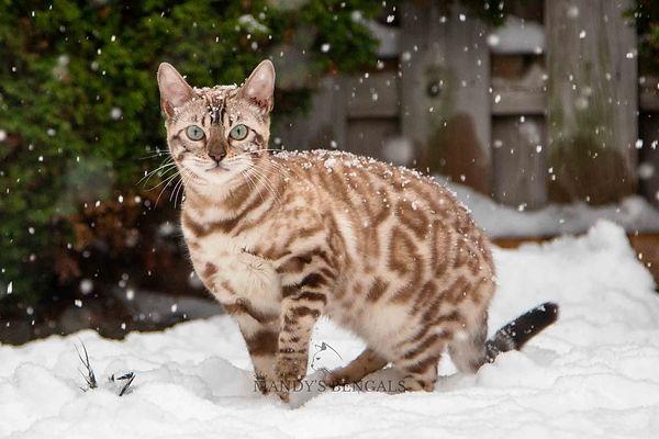 seal mink snow bengal mandys bengals toronto ontario bengal breeder